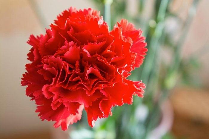 Couleurs de roses et autres fleurs : l'œillet des fleuristes pour lui montrer votre amour.