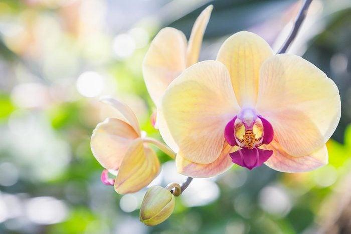 Couleurs de roses et autres fleurs : l'orchidée pour la passion et le désir.