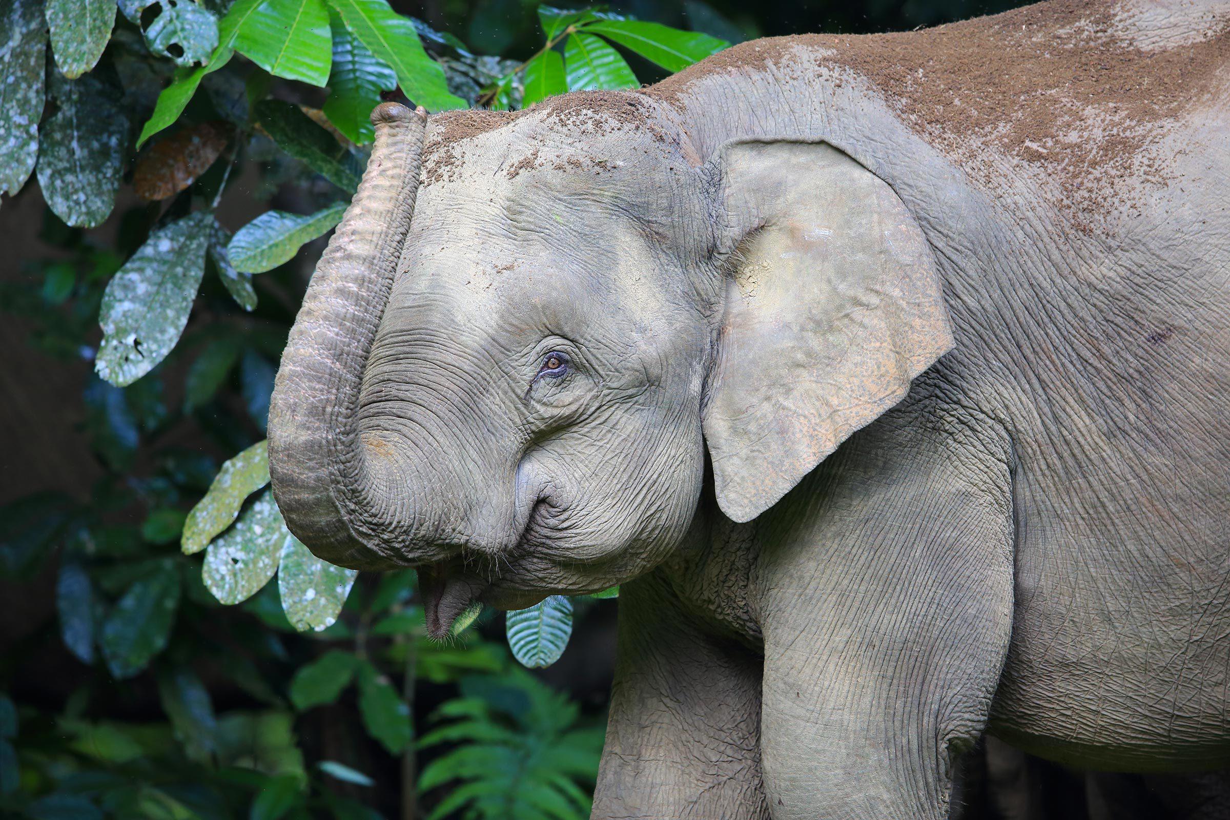 Espèces menacées : éléphant de Bornéo (Elephas maximus borneensis)