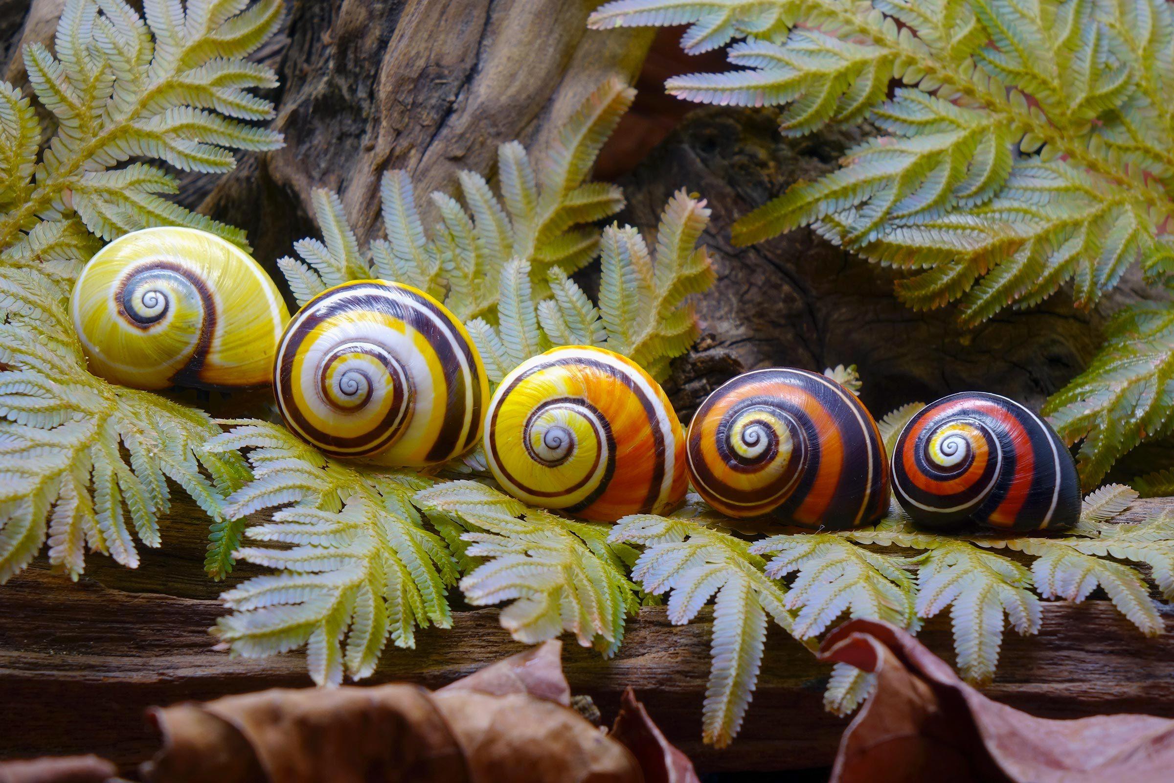 Espèces menacées : escargot peint de Cuba (Polymita picta)