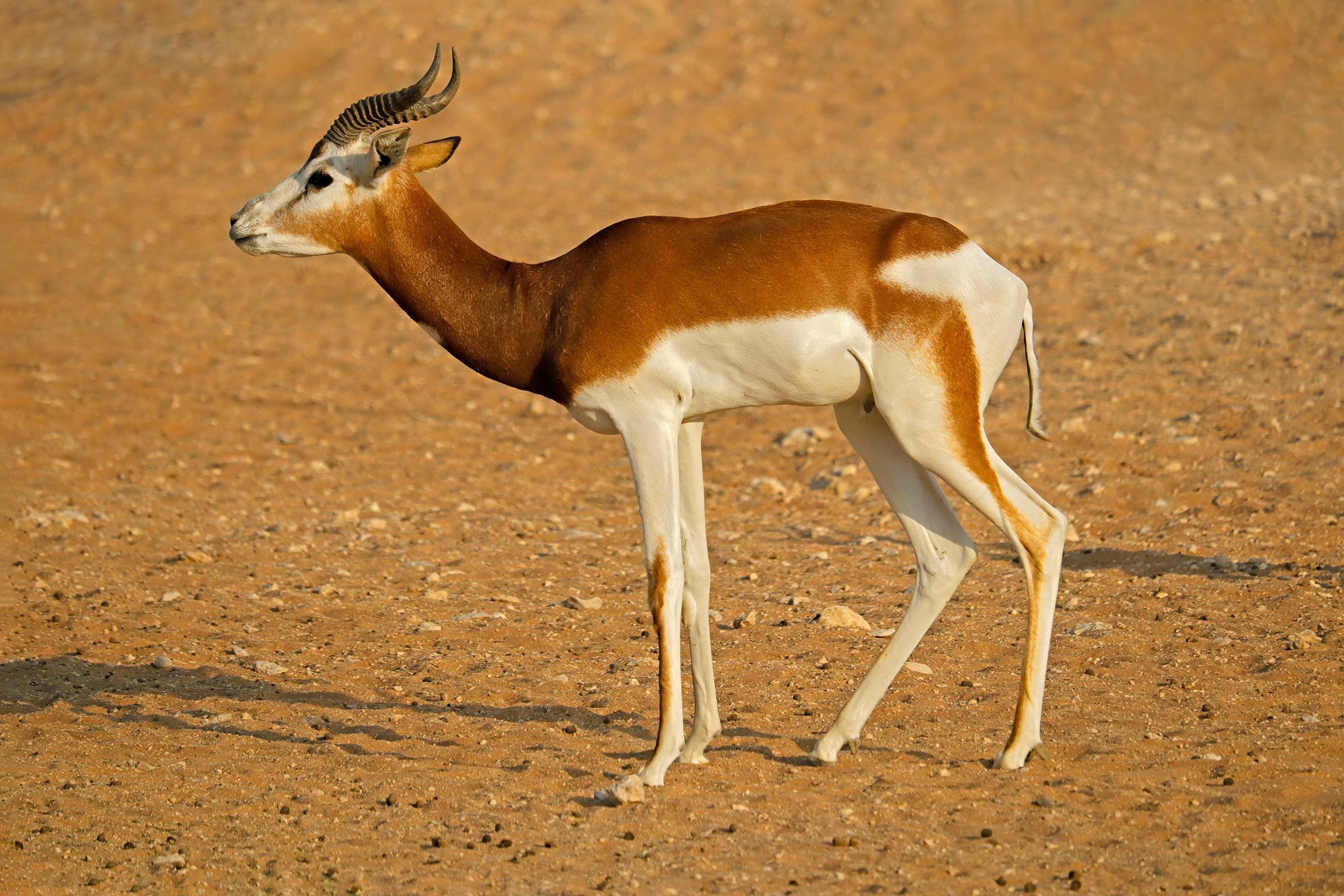 Espèces menacées : gazelle dama (Nanger dama)