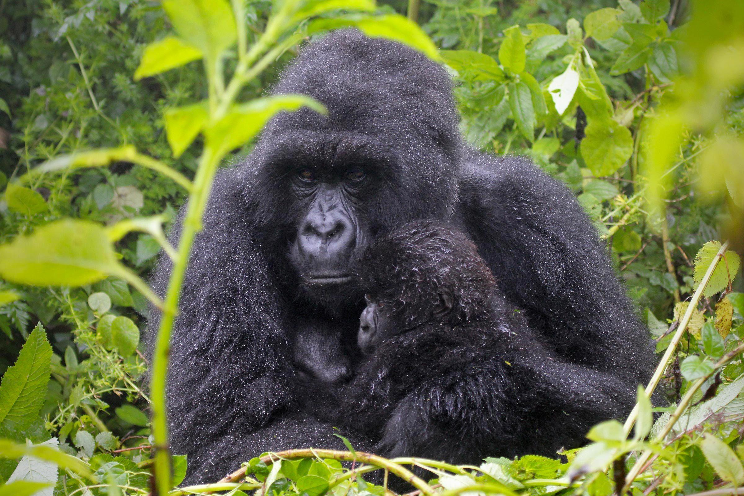 Espèces menacées : gorille de montagne (Gorilla beringei beringei)