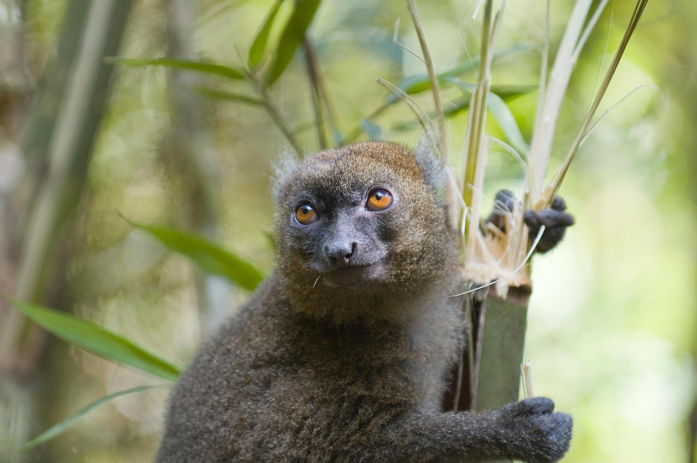 Espèces menacées : grand hapalémur (Hapalemur simus)