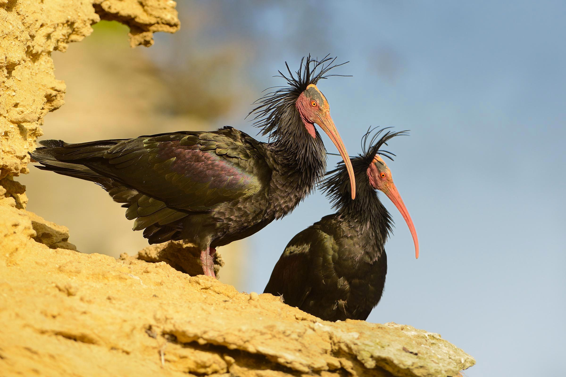 Espèces menacées : ibis chauve (Geronticus eremita)