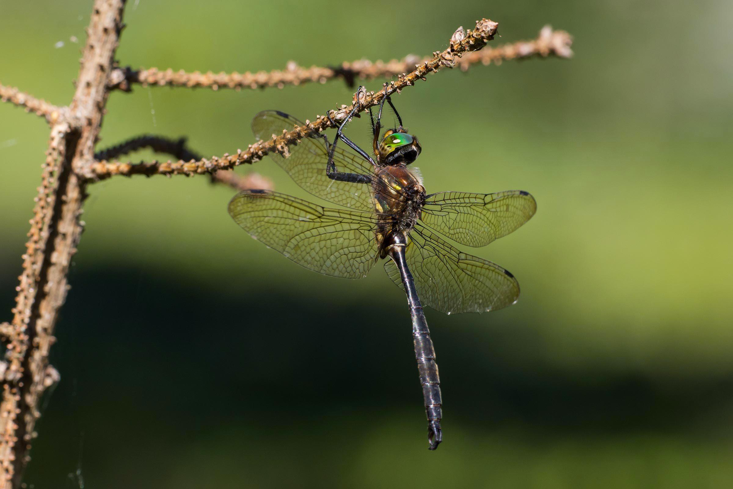 Espèces menacées : libellule émeraude de Hine (Somatochlora hineana)