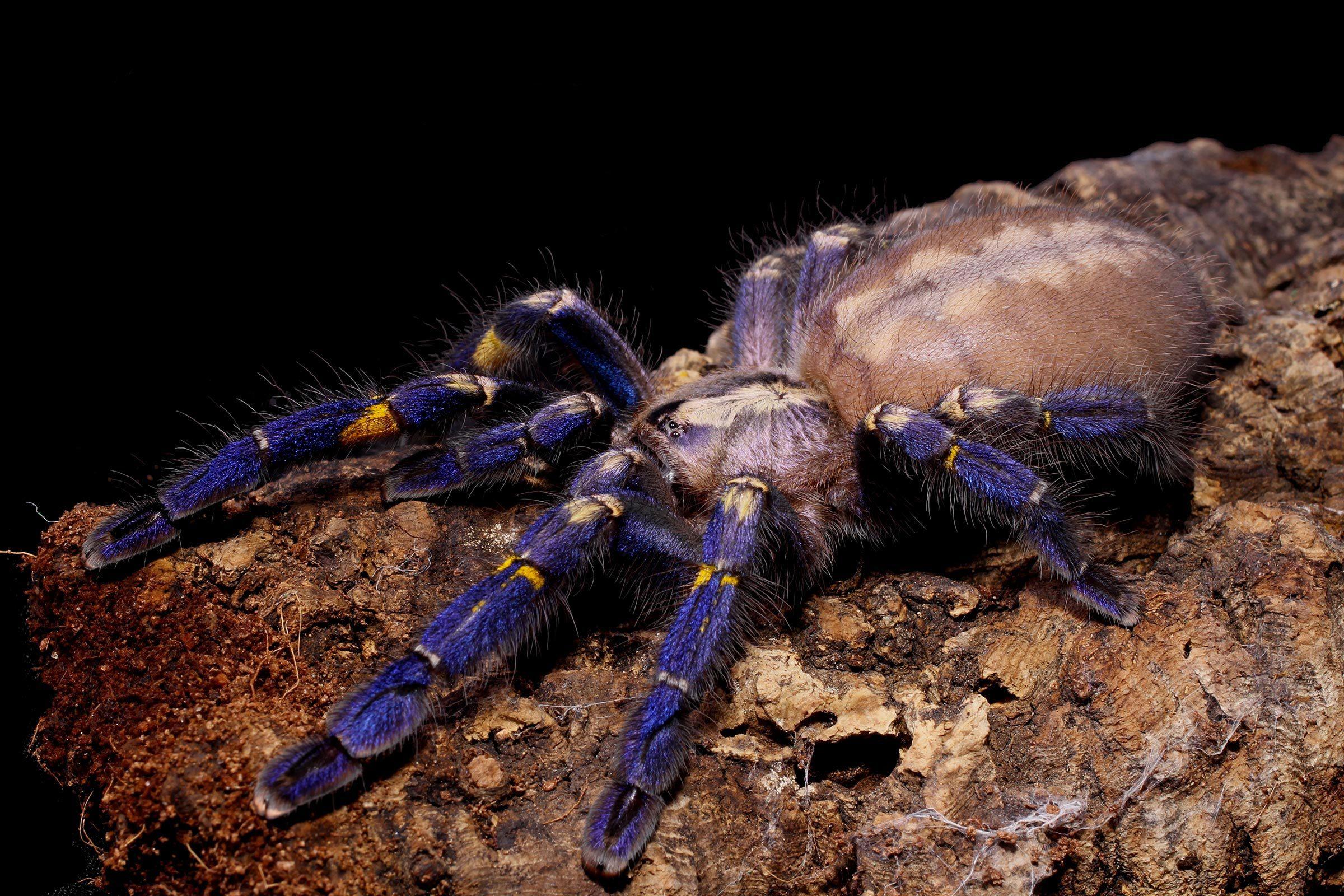 Espèces menacées : mygale ornementale saphir (Poecilotheria metallica)