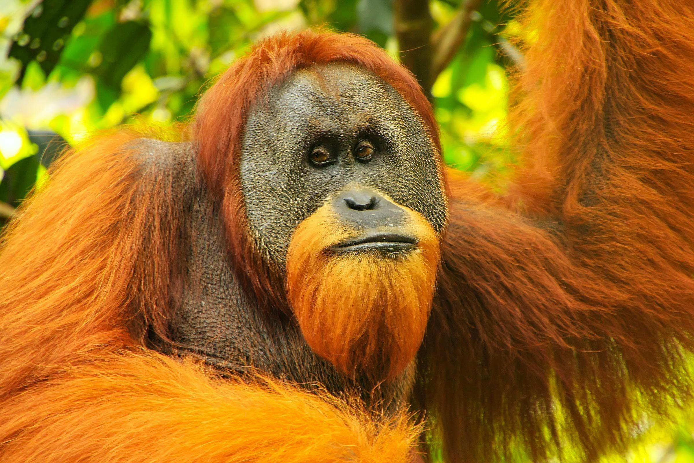 Espèces menacées : orang-outan de Sumatra (Pongo abelii)