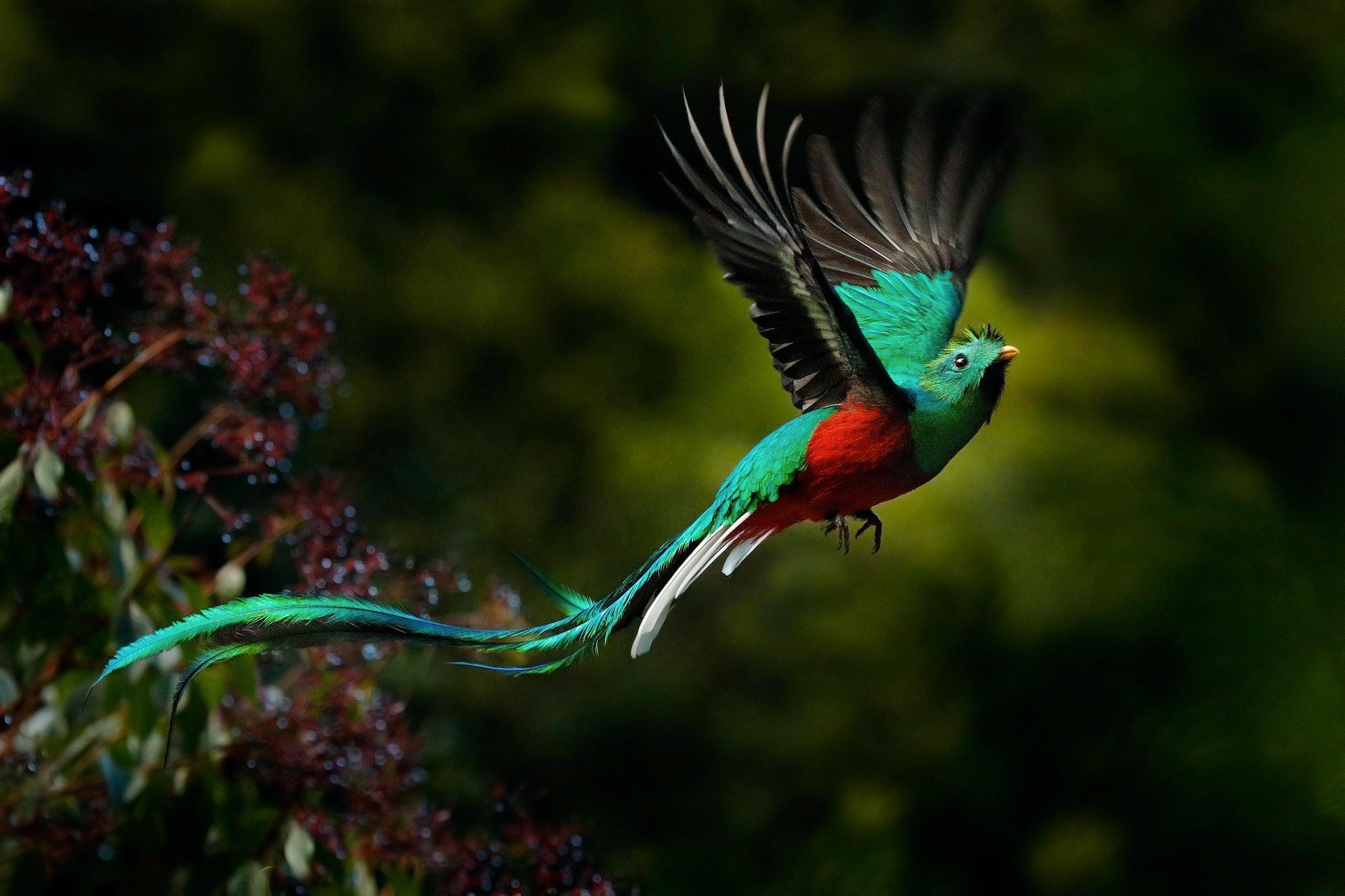 Espèces menacées : quetzal resplendissant (Pharomachrus mocinno)