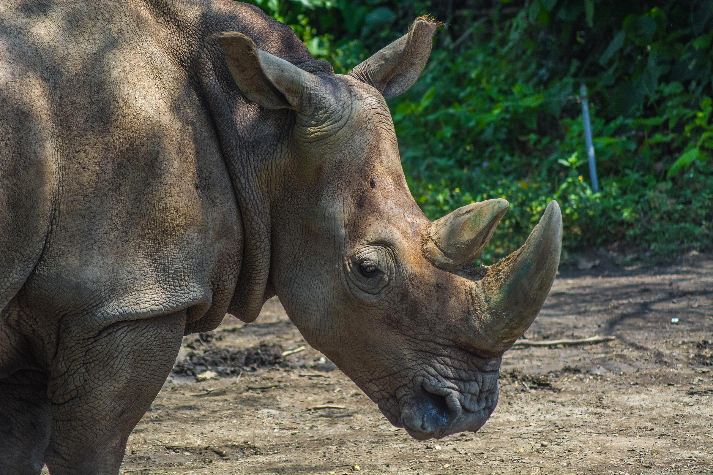 Espèces menacées : rhinocéros de Sumatra (Dicerorhinus sumatrensis)