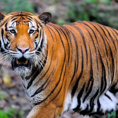 Espèces menacées : tigre de Malaisie (Panthera tigris jacksoni)