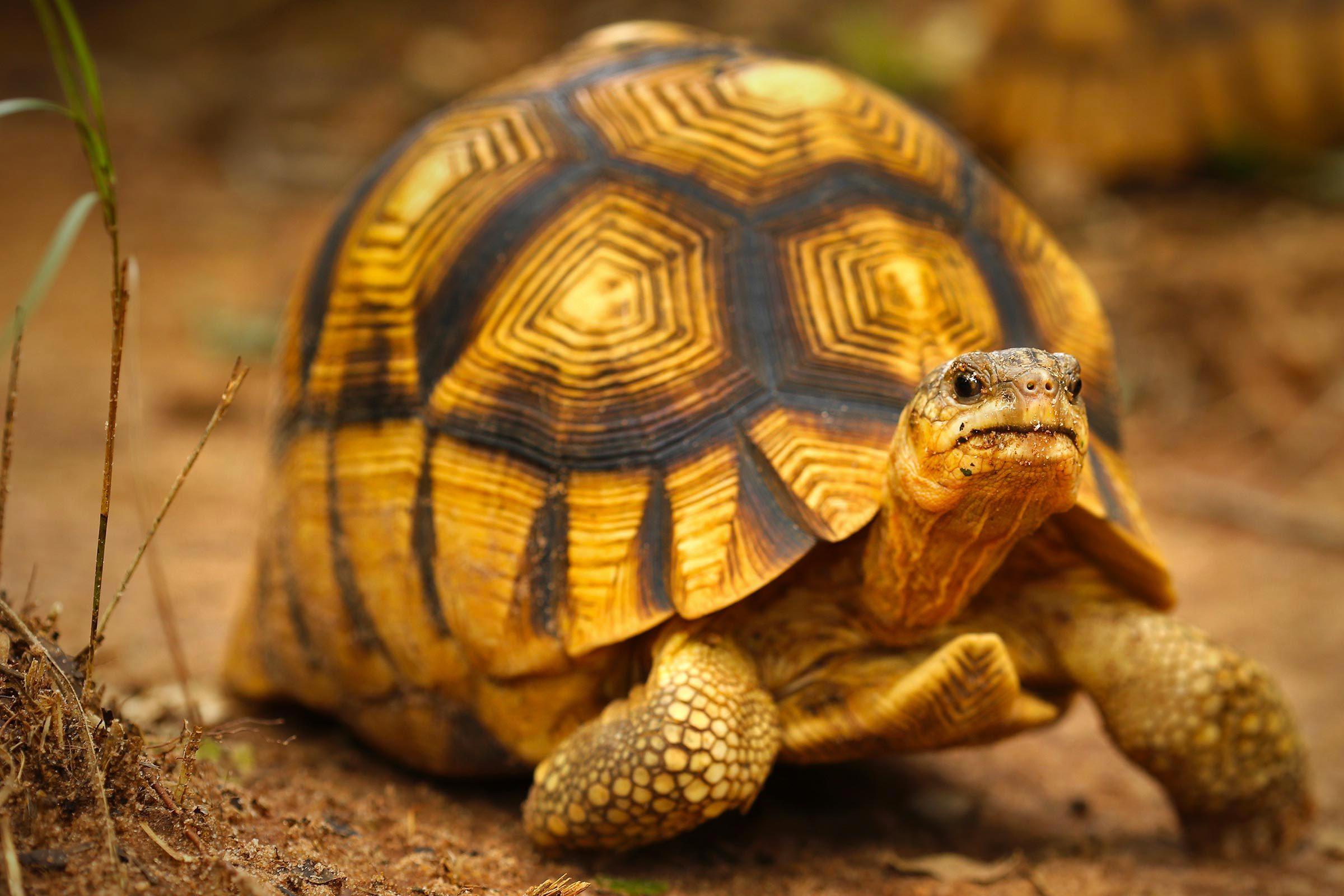 Espèces menacées : tortue à soc (Astrochelys yniphora)