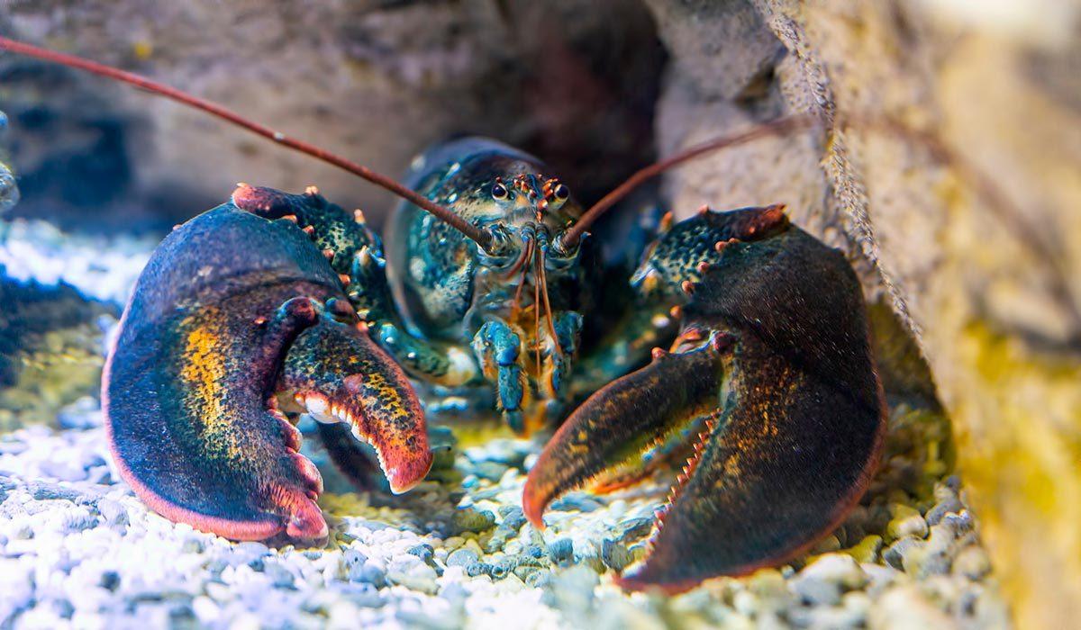 Le homard devient rouge lorsqu'il est cuit.