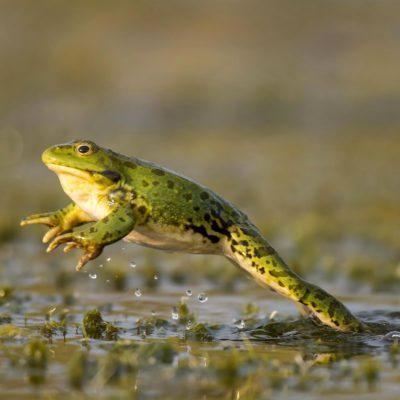 Quand ce n'est pas la pluie qui tombe du ciel, ce sont des grenouilles.
