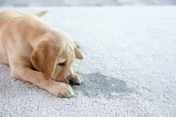 Le vinaigre aide à effacer l'odeur de l'urine de chien.