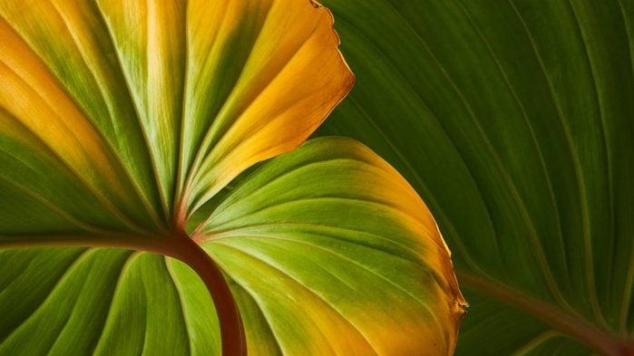 Le vinaigre de cidre contribue à prévenir le jaunissement des feuilles.