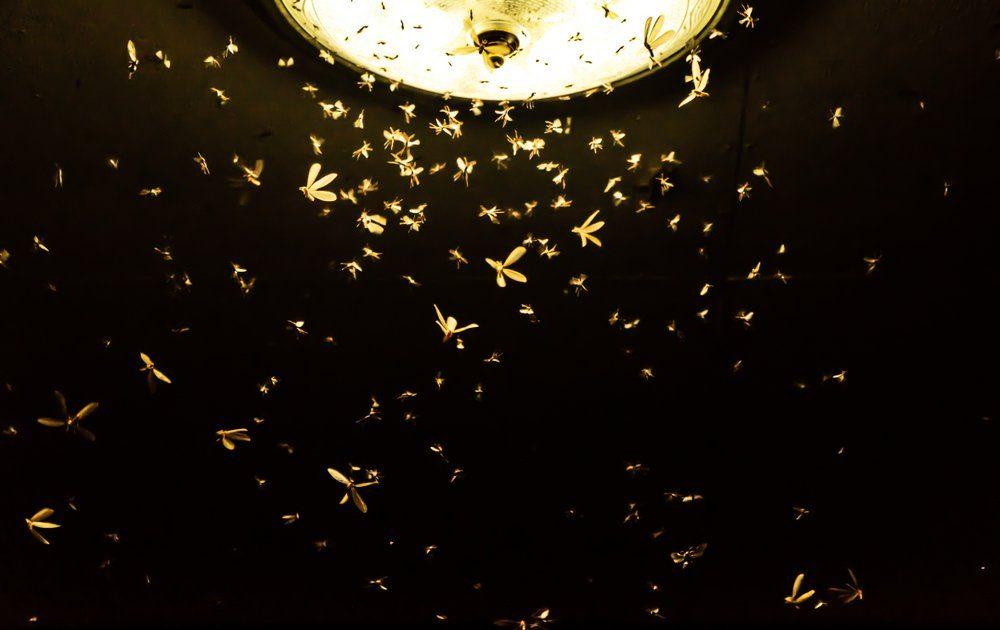 Un bol de vinaigre de cidre peut servir d'appât pour les insectes volants.
