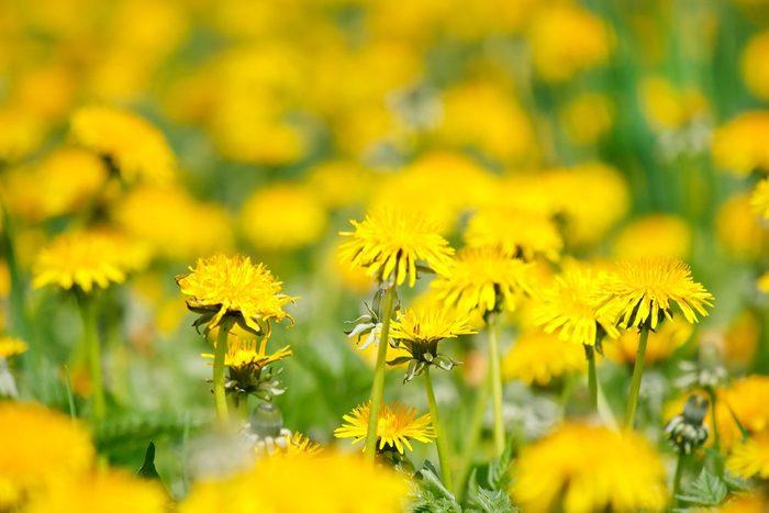 Arroser les mauvaises plantes avec du vinaigre blanc ou de cidre suffit à éliminer les mauvaises herbes.