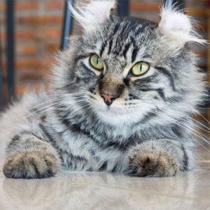 Le chat de race American curl est un chat dont les oreilles ressemblent un peu à celles d'un lynx.