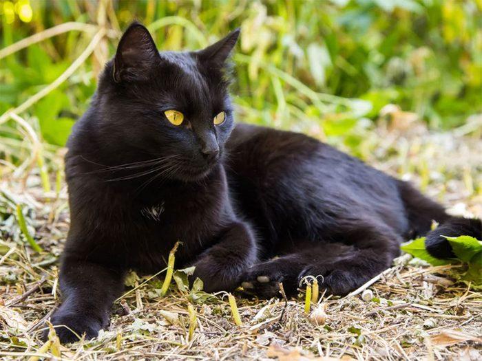 Le chat de race Bombay est un chat au poil tout noir.