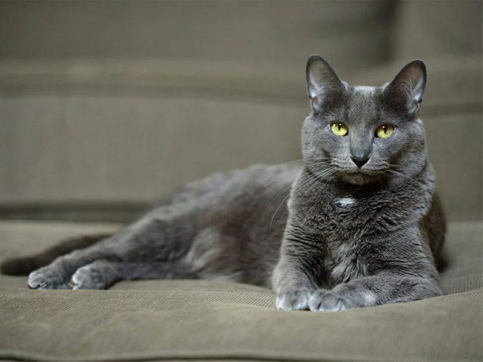 Le chat de race Korat est un chat affectueux.