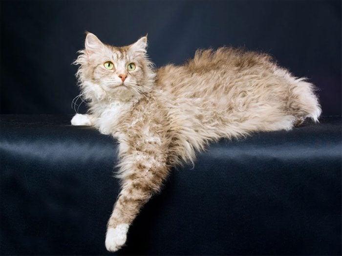 Le chat de race LaPerm se distingue par ses poils ondulés.