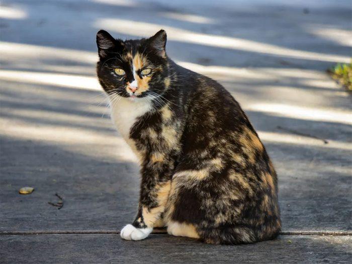 Le chat de race Manx est un chat qui se caractérise par son absence de queue.