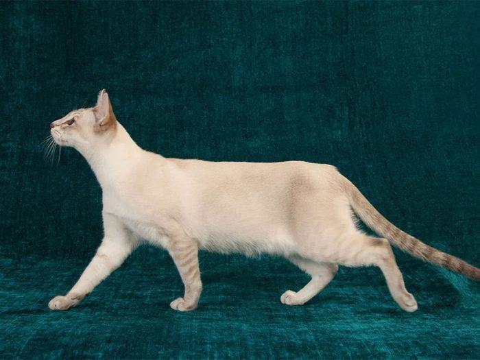 Le chat de race Tonkinoise est plutôt bavard.