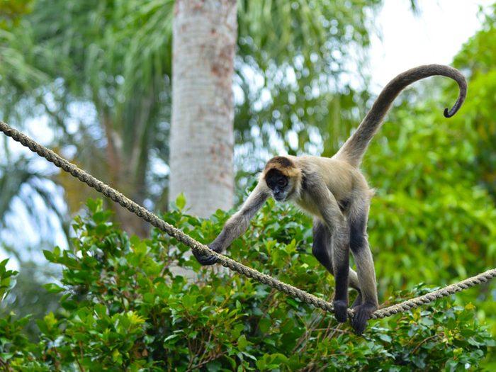 la ville américaine d'Homosassa, Floride: l'île aux singes.
