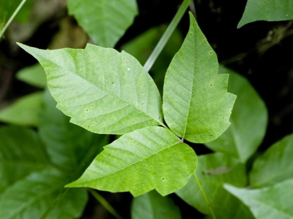 Le sumac vénéneux, autrement appelé herbe à puce, n'est pas contagieux.
