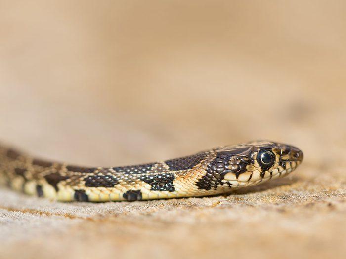 Signification des rêves : Vous rêvez d'un serpent.