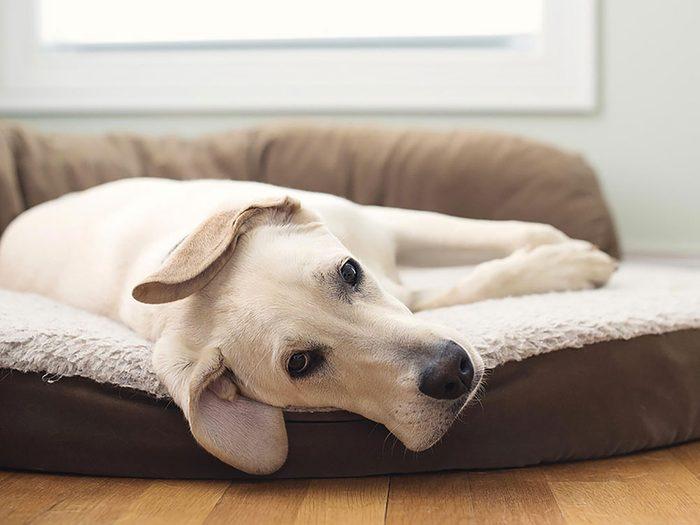 Adoptez un chien âgé pour plus de tranquillité.