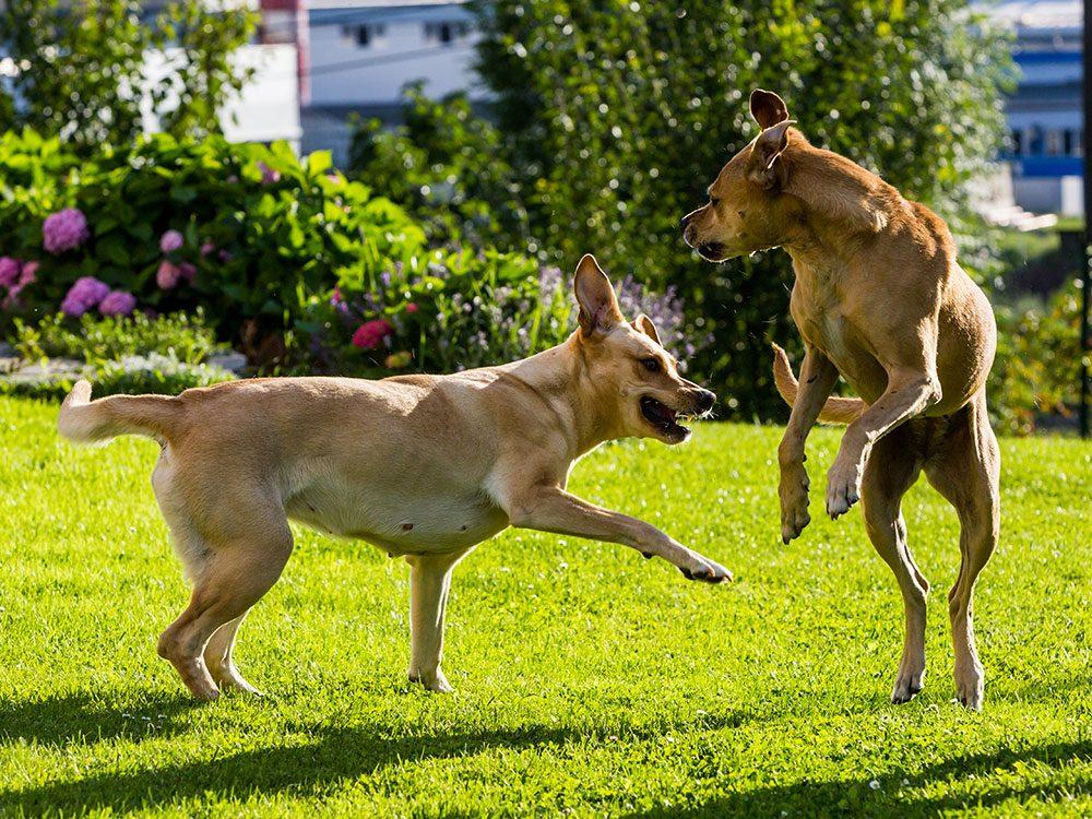 Les propriétaires de chiens de doivent pas mettre intentionnellement un chien agressif avec d'autres personnes ou animaux.