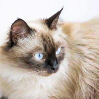 Histoire vécue: mon chat participant à une exposition féline