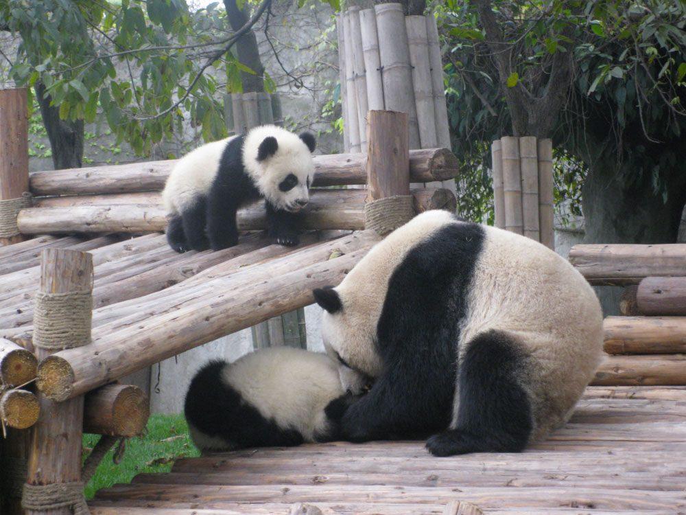 Les États-Unis paient à prix d'or la location de pandas à la Chine.