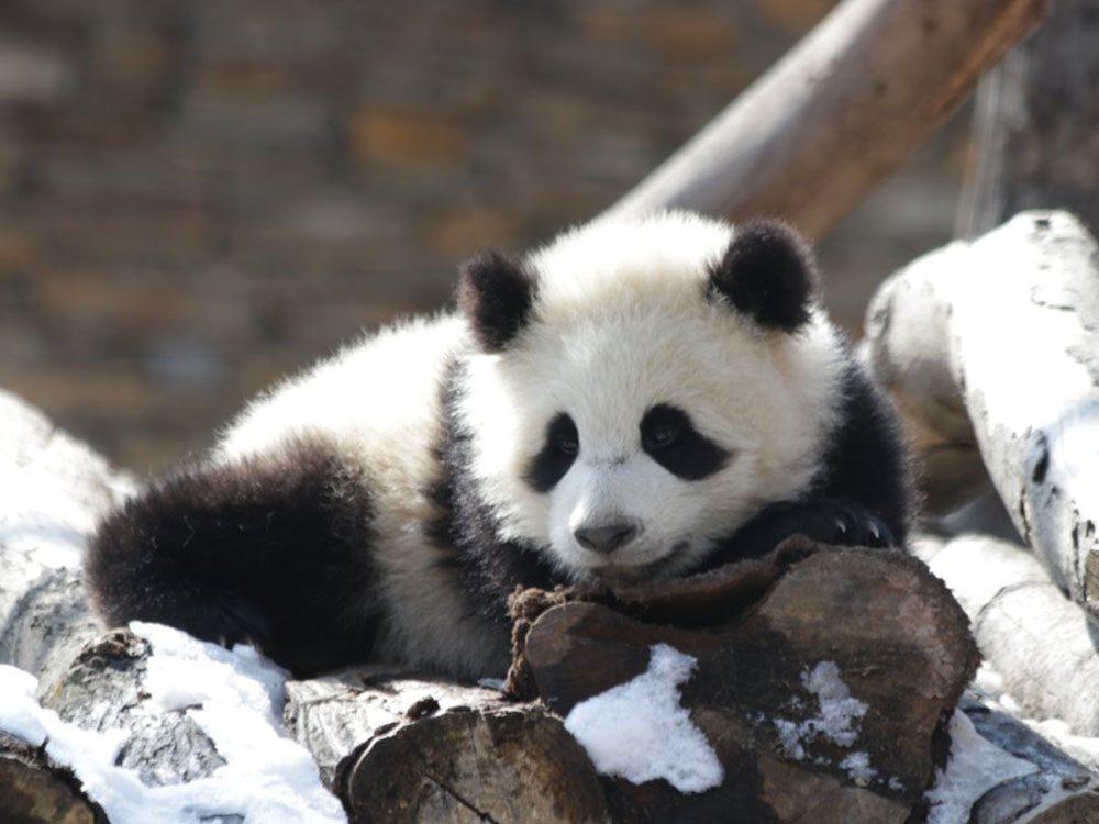 Nous savons enfin pourquoi les pandas sont habillés en noir et blanc.