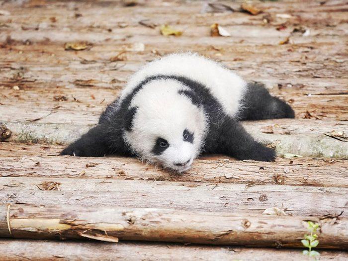 Les pandas ont d'énormes poussées de croissance.