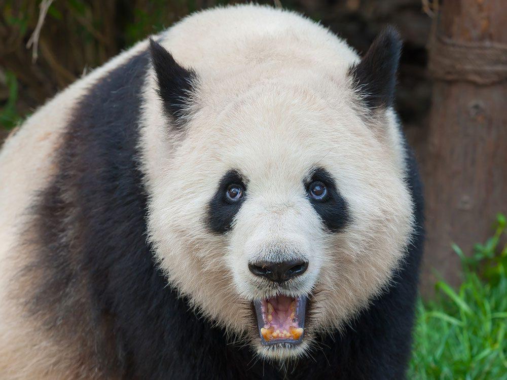 Les pandas peuvent être dangereux.