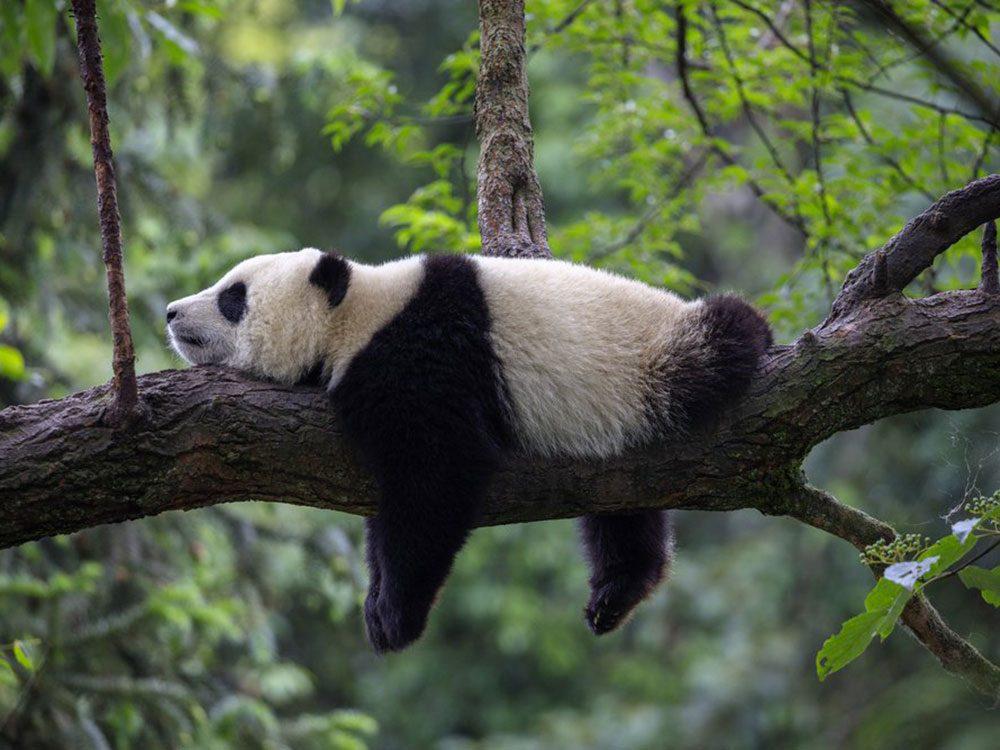 Les pandas adorent faire la sieste.
