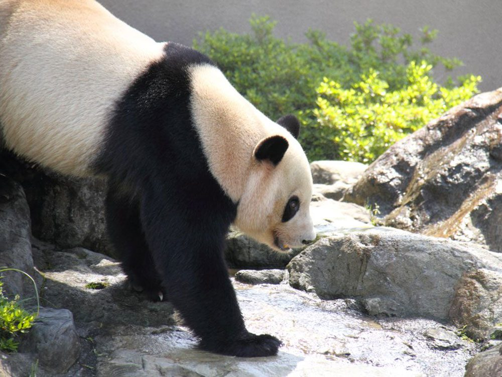 Les pandas n'hibernent pas.