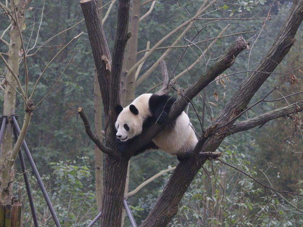 Les pandas pourraient être bientôt menacés d'extinction.