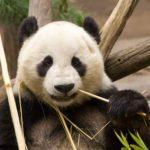 13 choses sur les pandas (pour les aimer encore plus!)