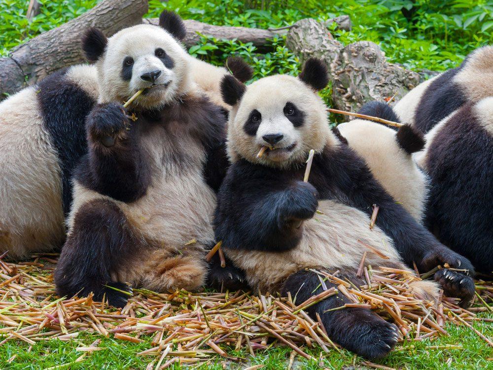 Les pandas sont une espèce endémique de la Chine.