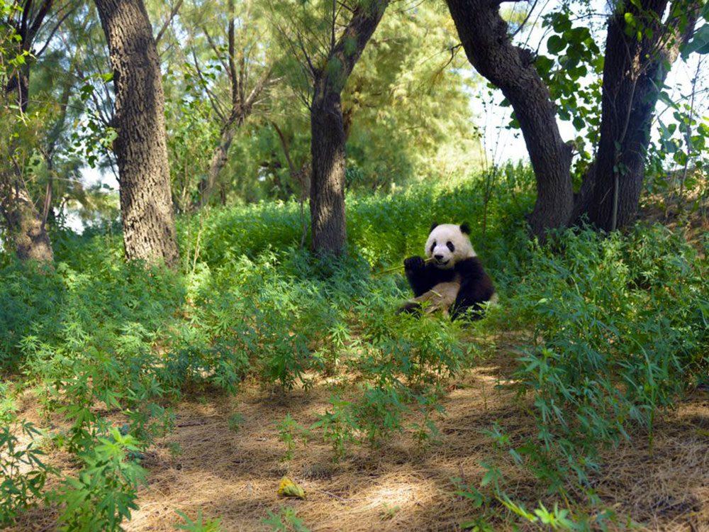 Les pandas jouent un rôle important dans leur habitat.