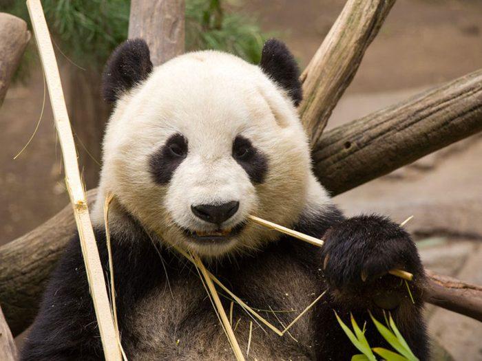Les pandas mangent du bambou, encore du bambou.