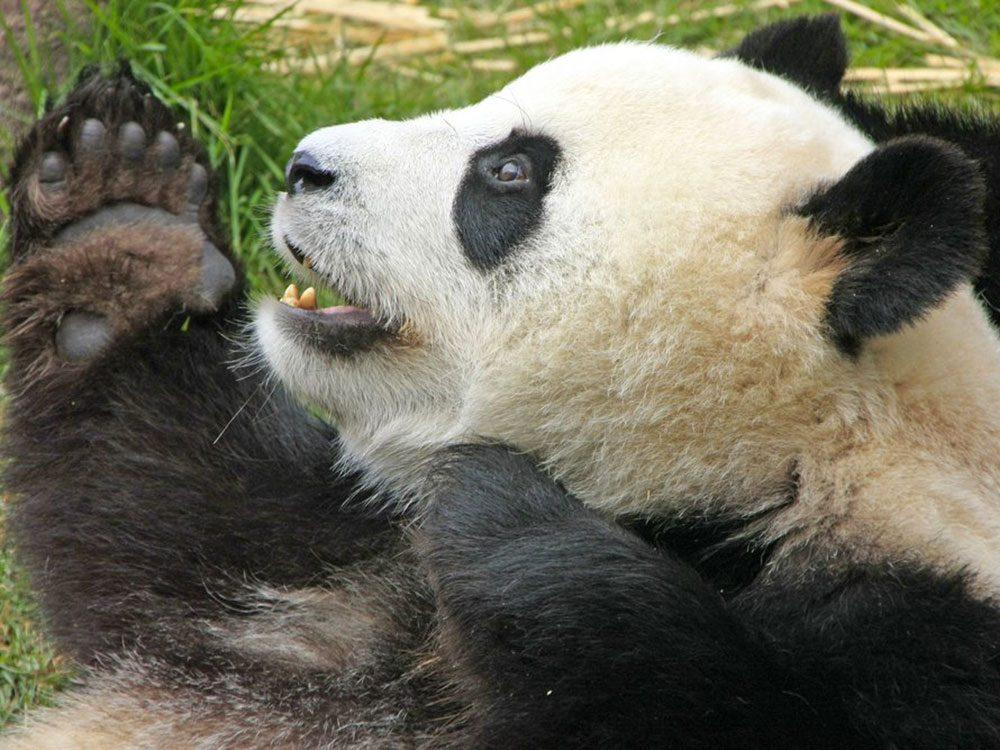 Les pandas ont six doigts à chaque patte.