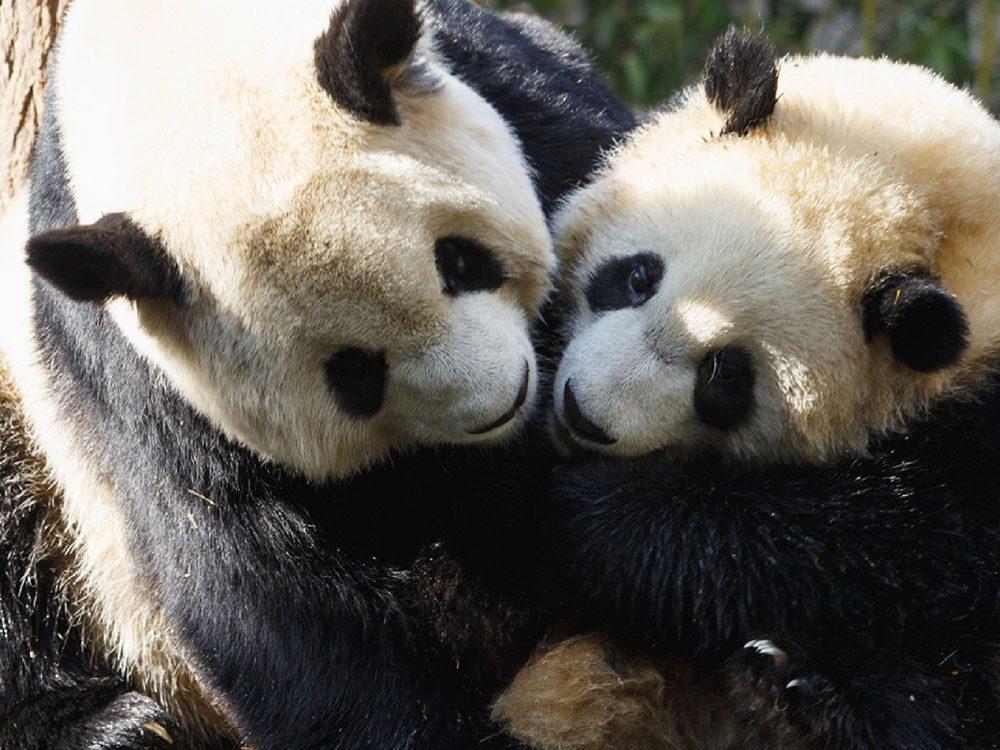 Certains pandas sont loin d'être des bêtes de sexe.