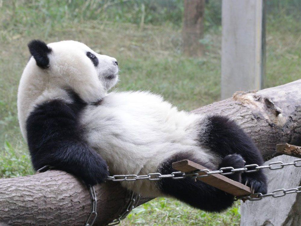 Les pandas apprécient la solitude.
