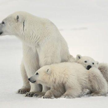 La chasse aux braconniers de l'arctique