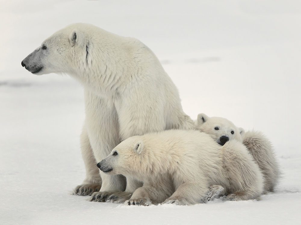 Pour éviter le trafic illégal, lorsqu'un ours est tué, le chasseur devra le signaler à l'agent de conservation de la ville, qui marquera la fourrure.