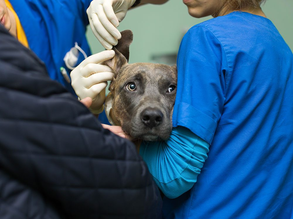 Votre animal est anxieux d'aller chez le vétérinaire.